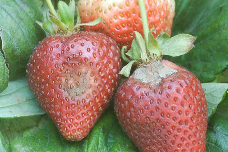 Botrytis su frutto di fragola