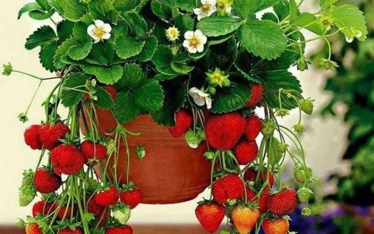 Una pianta di fragole in vaso
