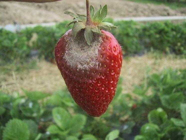 Frutto di fragola affetto da Botritys
