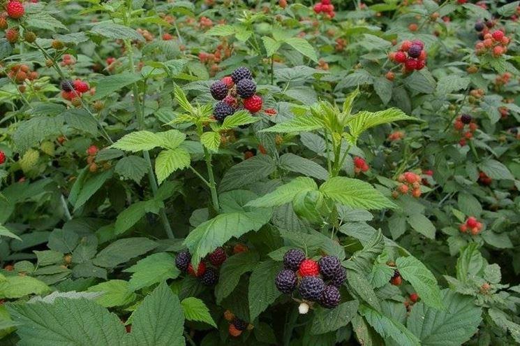 Una coltivazione di piante di lamponi neri (Rubus Occidentalis).