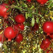 Frutti della pianta del melograno