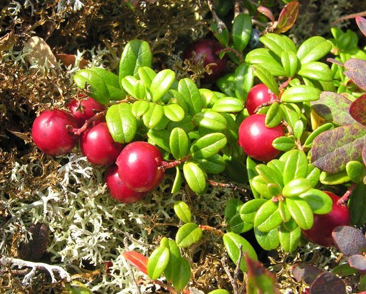 Frutti bosco piante