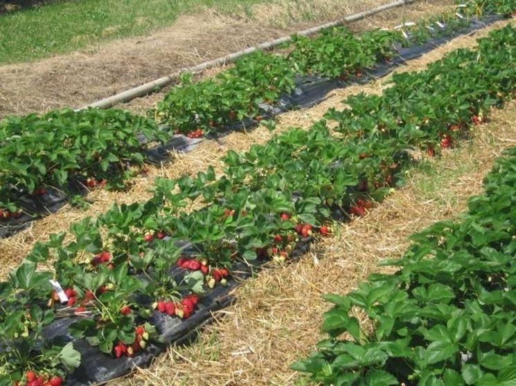 Pianta fragola piccoli frutti scopri la pianta della for Vasi per fragole
