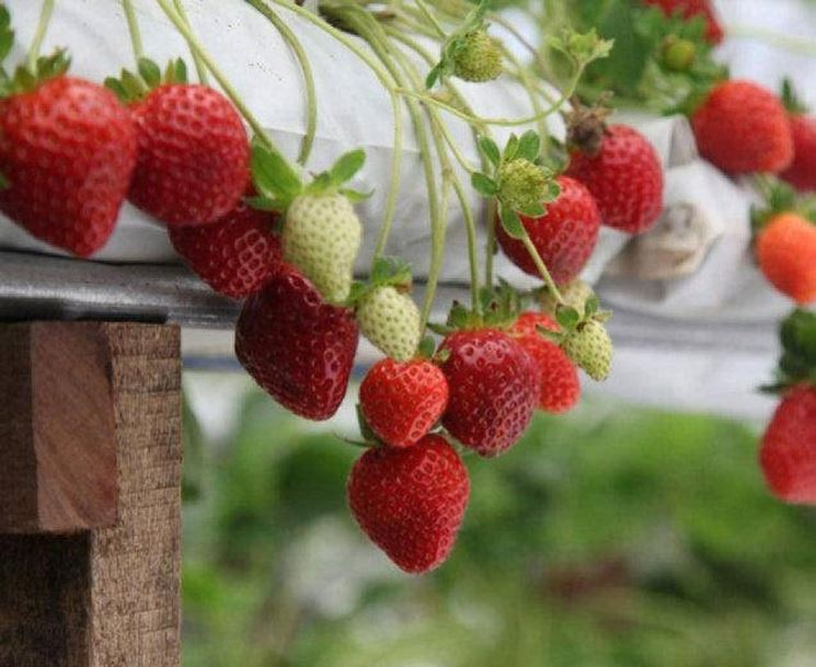 Fragole coltivate sul balcone