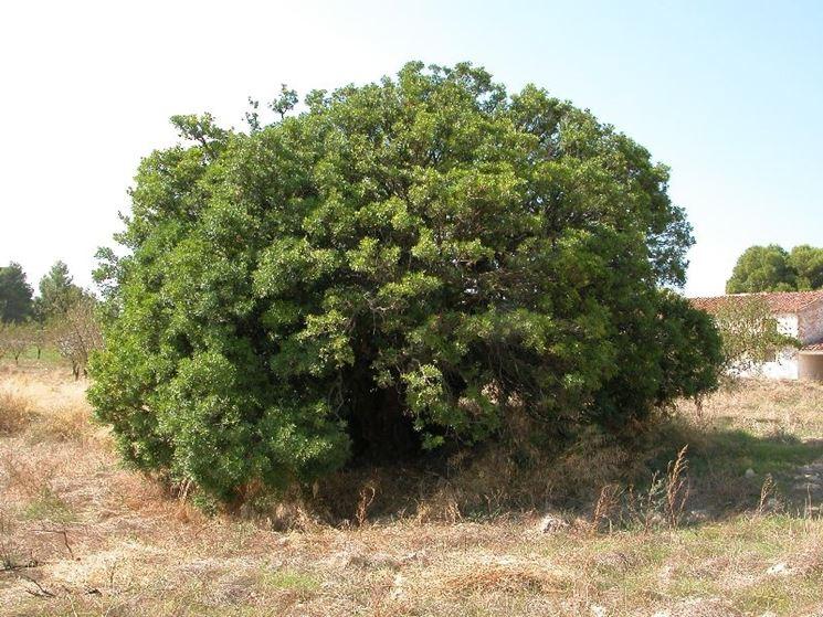 Coltivazione albero pistacchio