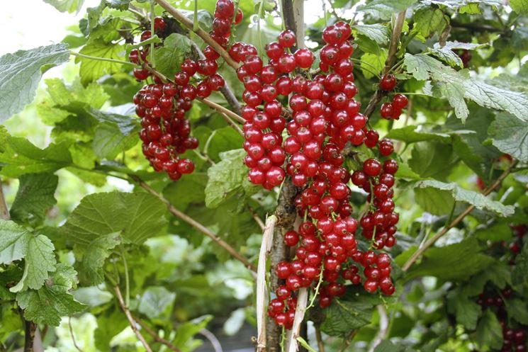 Ribes pianta