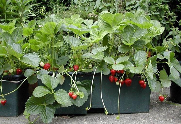 Semina fragole piccoli frutti fragole come coltivarle for Fragole piante in vaso