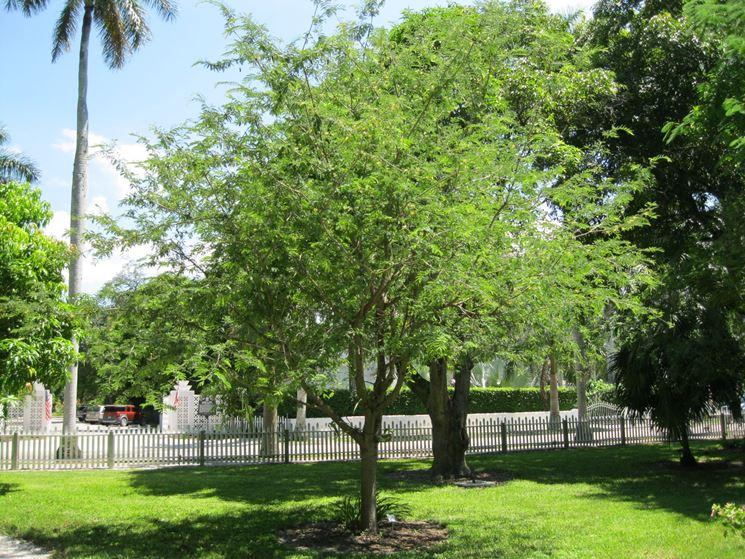 Coltivazione tamarindo giardino