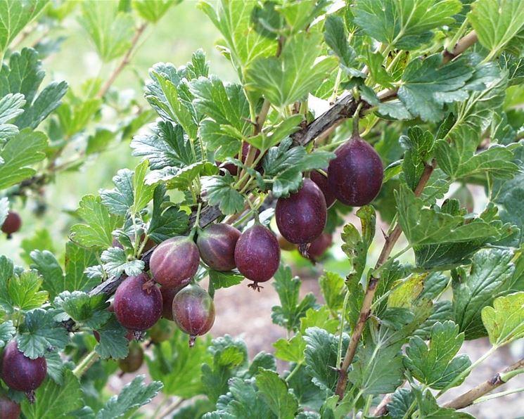Ramo piccoli frutti