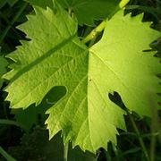 classificazione delle foglie