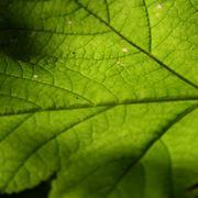 forma delle foglie