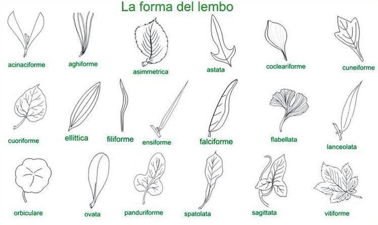 Tabella forma lembo