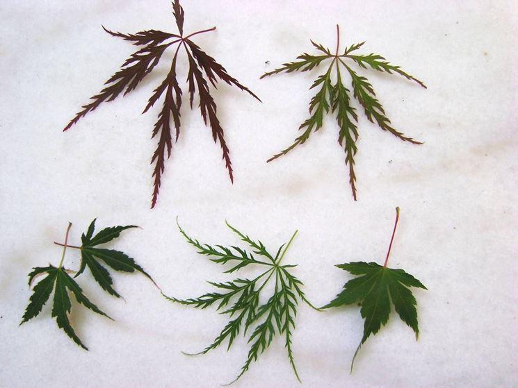 tipi di foglie vere