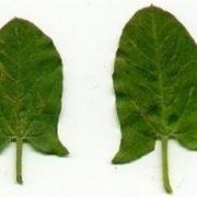 forma foglie