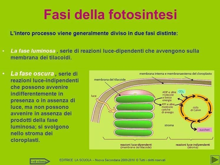 Fasi della fotosintesi clorofilliana