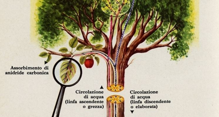 Immagini in rete relative alla fotosintesi clorofilliana