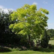 Una pianta latifoglia: la robinia