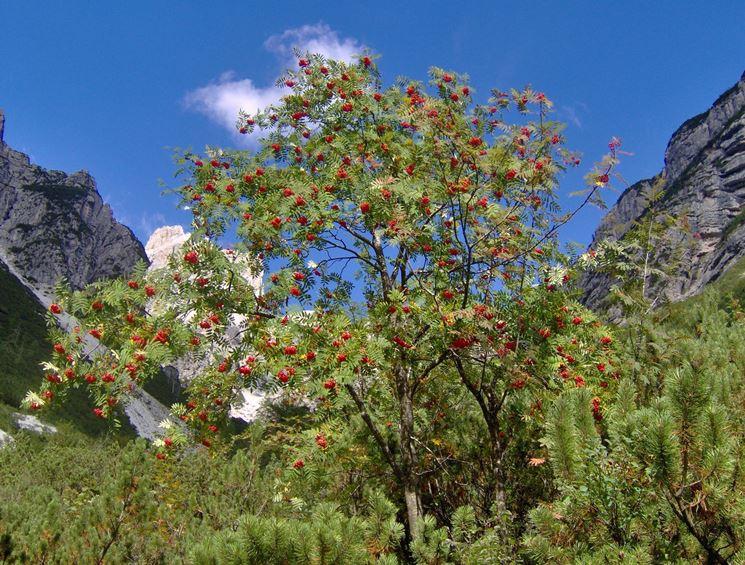 Il sorbo, un'altra pianta latifoglia
