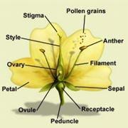 morfologia fiore