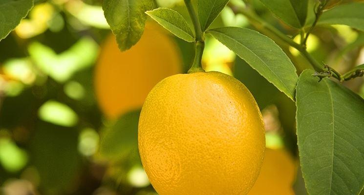 piante di limoni