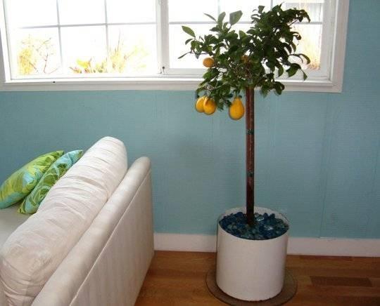 Concimazione limoni in vaso concime come concimare limoni for Limoni in vaso