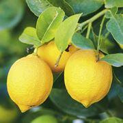 come concimare i limoni