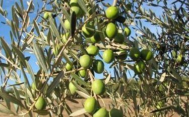 Concimazione olivo