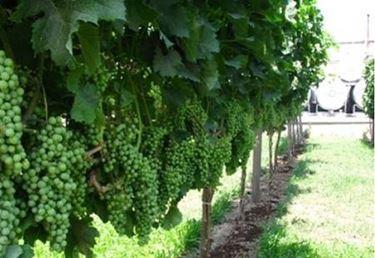 vigneto uva bianca