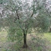 concime oliveto