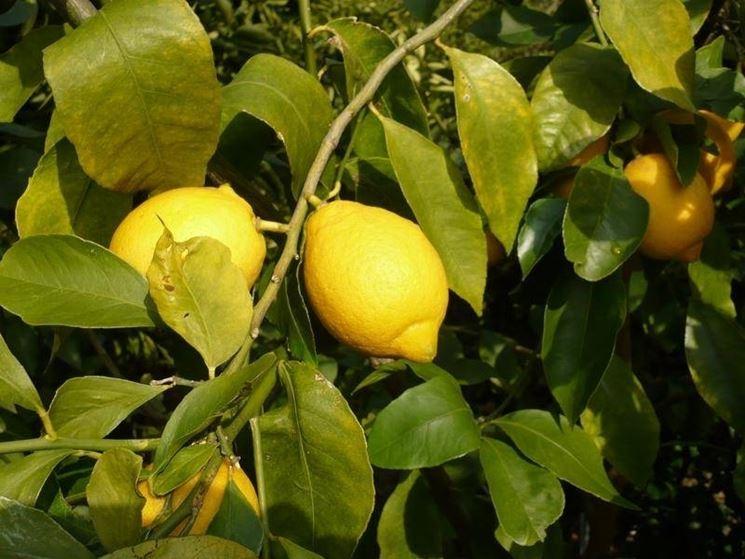 limoni su pianta