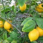 concime per limoni