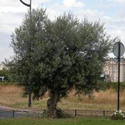 albero olivo europeo