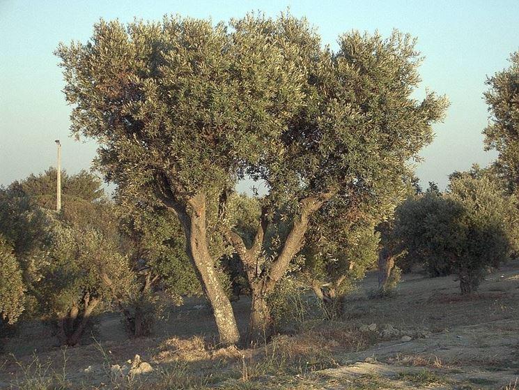 albero olivo ascolano