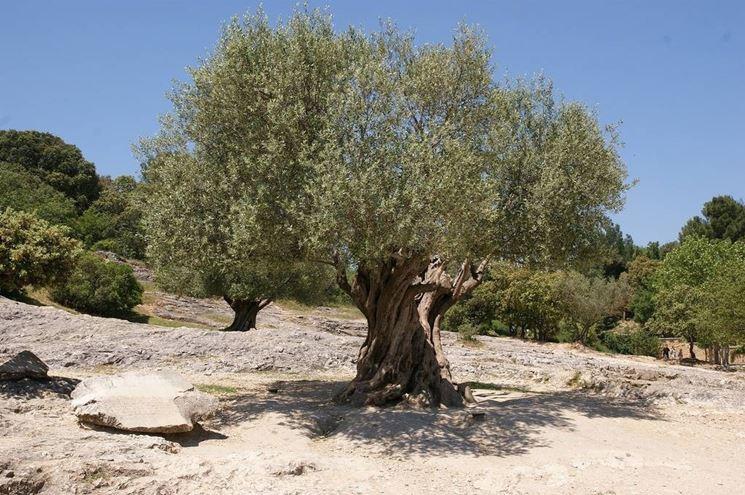 grande albero di olivo
