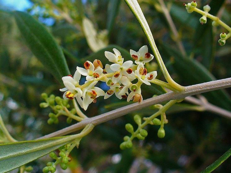 Fiore di ulivo appena sbocciato