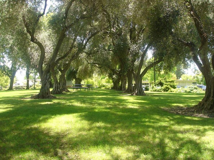 Tutta la maestosit� delle piante di ulivo