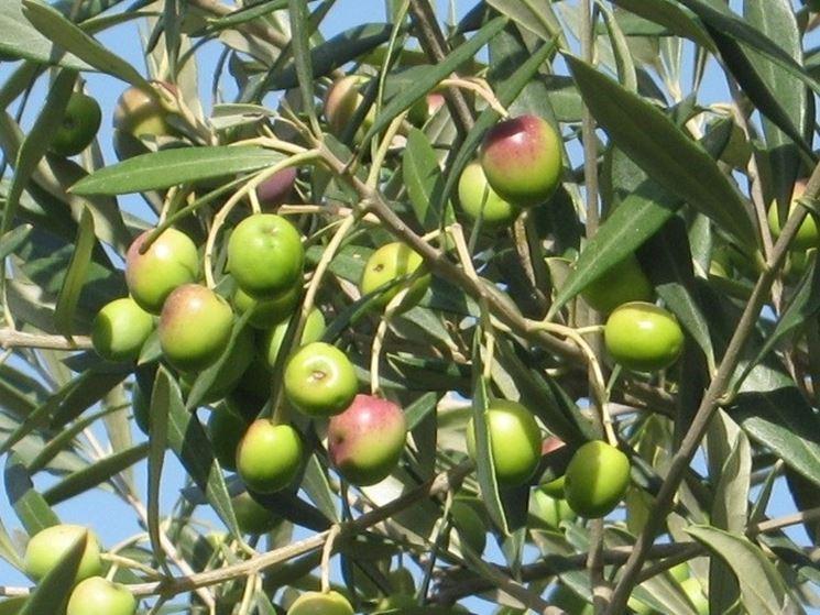 Olive prossime alla maturazione