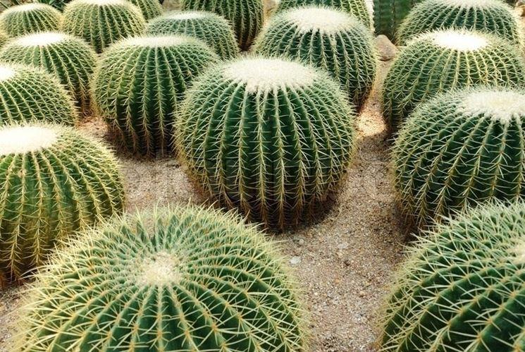 Un gruppo di Echinocactus grusonii, specie comunemente nota come