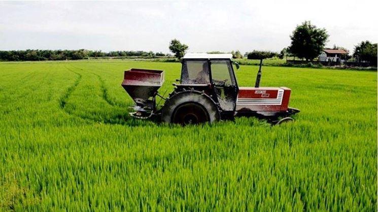 Concimazione del riso con urea