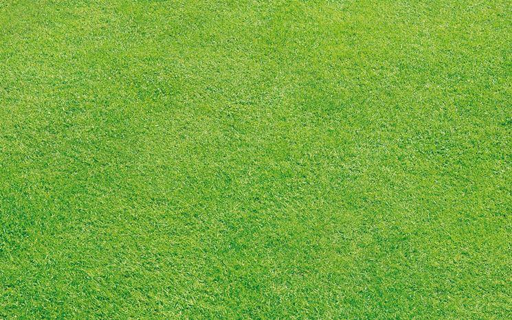 dichondra repens giardinaggio coltivazione prato