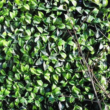 siepe lauro verde