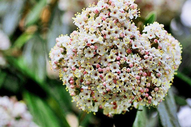 fiore siepe viburno