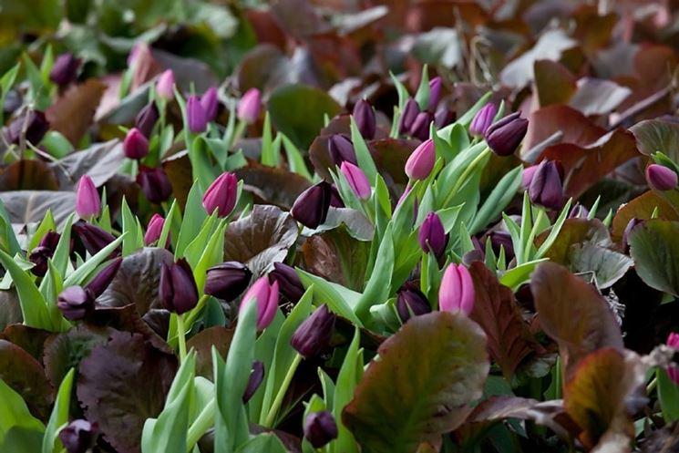 aiuola tulipani