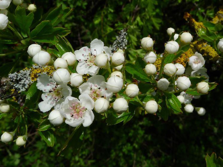 Le piante da giardino giardinaggio piante per giardino for Alberi da giardino con fiori