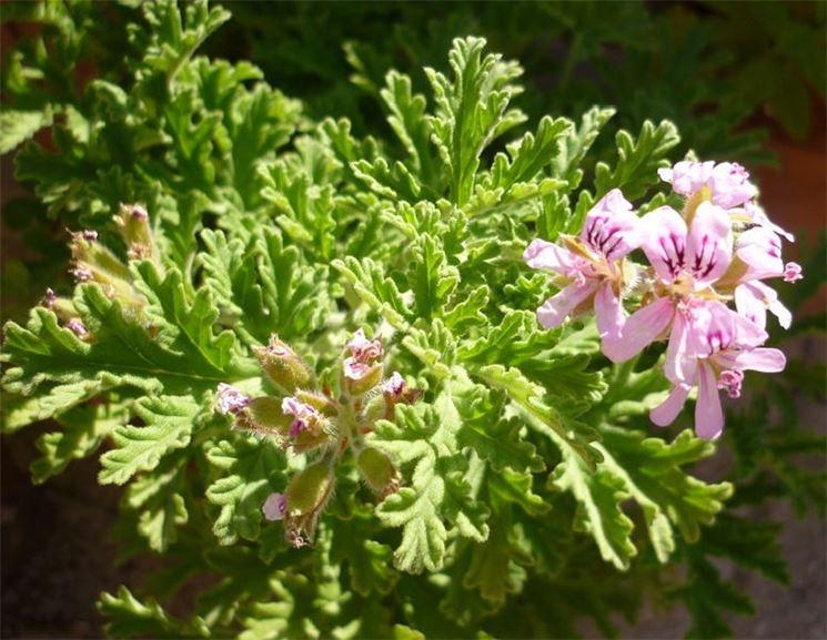 Piante anti zanzare giardinaggio piante anti zanzare - Geranio odoroso ...