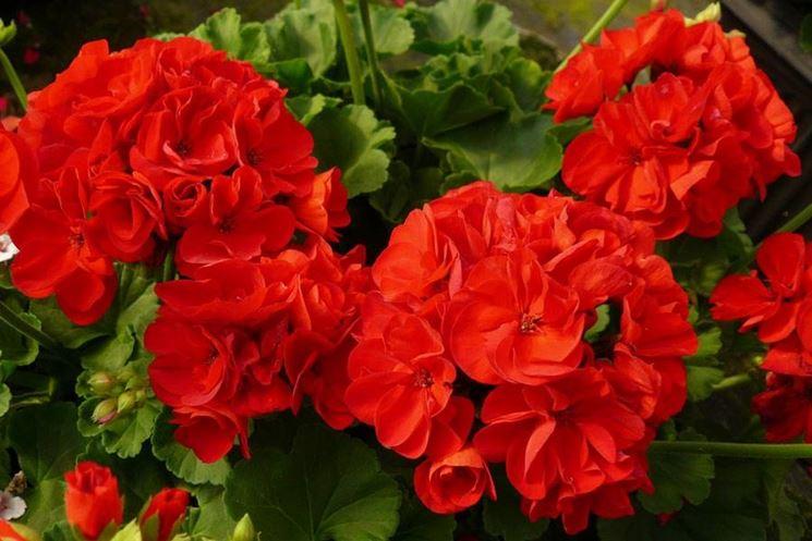 Geranio Calliope rosso intenso