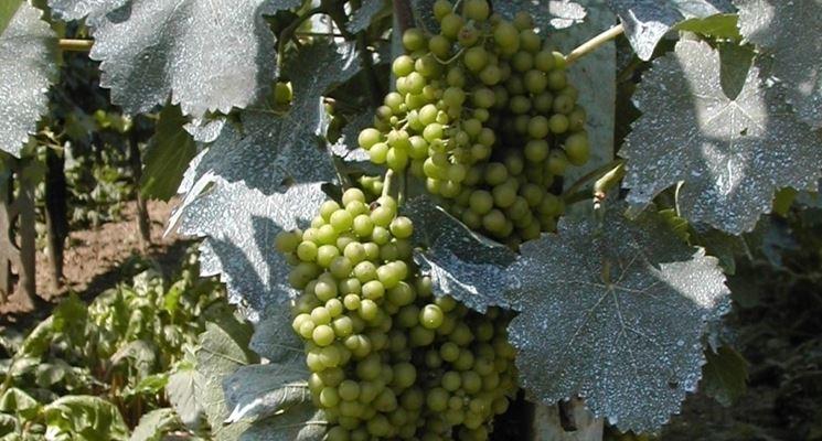 Poltiglia bordolese giardinaggio fungicida naturale for Poltiglia bordolese quando usarla