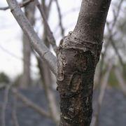 Innesto albero da frutto