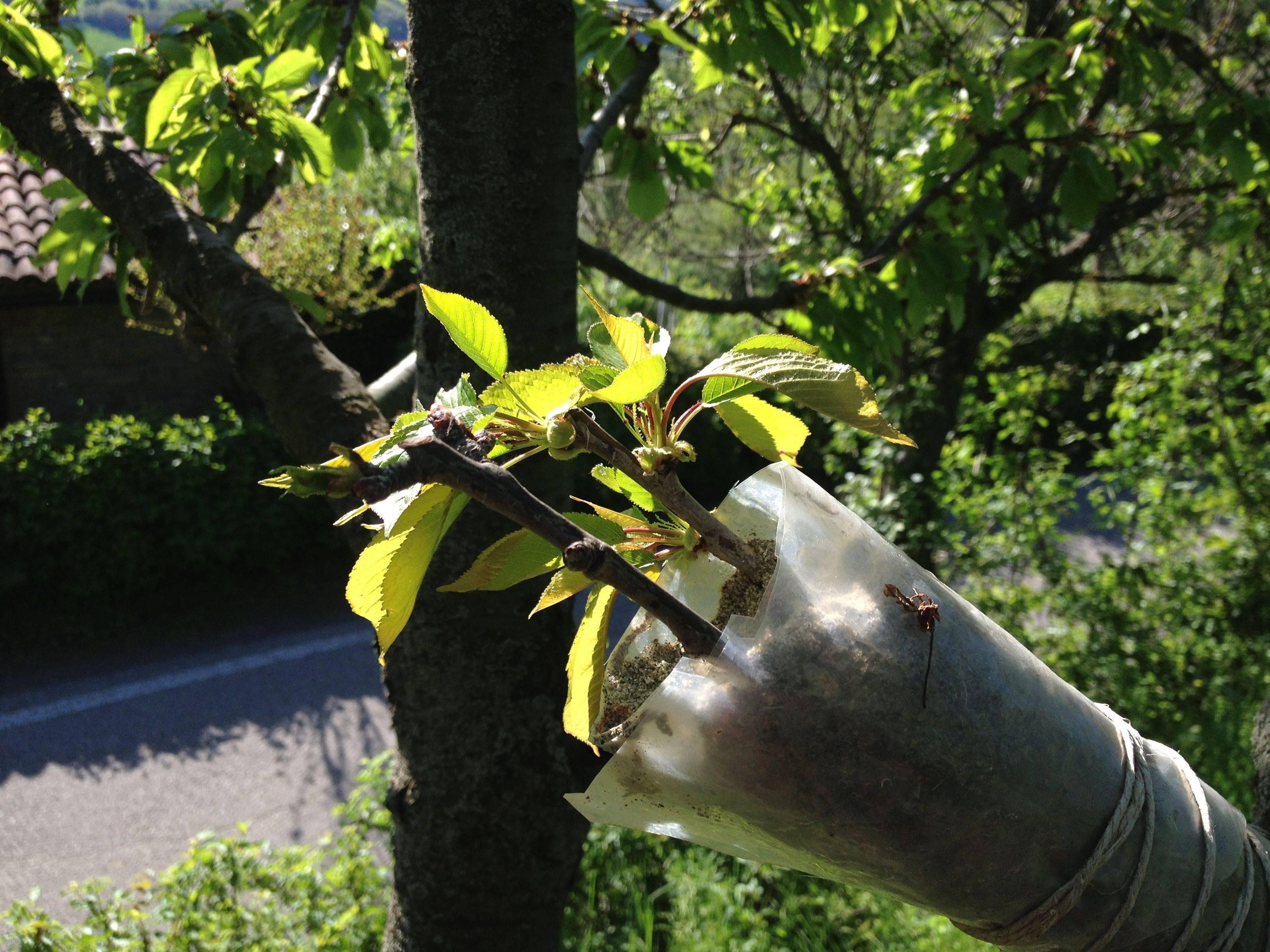 Tipi di innesti alberi da frutto