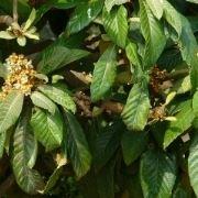innesti alberi da frutto